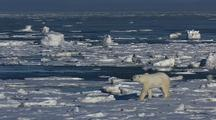 Beautiful Tall Polar Bear Stands And Walks Across Ice With Water Not Freezing