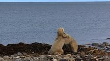 Polar Bear Cubs Play Fighting At Water's Edge