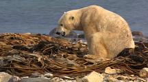 Polar Bear Forages In Seaweed On Beach