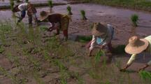 Rice Farming In China Planting Rice Agriculture