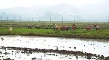 Tilt Up From Water To Farm Workers Planting Rice In China