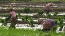 Pull Out From Ms To Ws Of Farm Workers Planting Rice In China