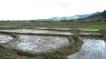 Rice Farms In China, Zoom To People Working