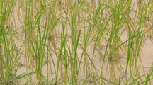 Rice Growing In Field Medium Shot