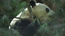 China Chinese Panda Bear In Tree