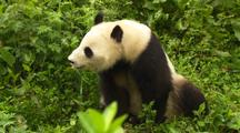 China Chinese Panda Bear In Green Plants