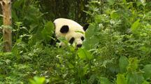 China Chinese Tilt From Plants To Panda Bear Resting In Forest