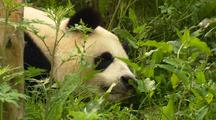China Chinese Push In To Panda Bear Resting In Forest At Wolong