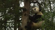 China Chinese Panda Bear Climbing Tree In Forest At Wolong