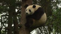 China Chinese Tilt Up To Reveal Panda Bear In Tree In Forest At Wolong