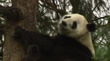 China Chinese Tilt Down To Reveal Panda Bear In Tree In Forest At Wolong