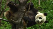 China Chinese Panda Bear Playing In Tree In Forest At Wolong