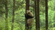 China Chinese Forest With Panda Bear Climbing Down Tree At Wolong