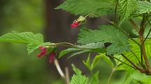 Alaska Flora Tilt Up To Reveal Wild Pink Rose Buds In Green Lush Scene Southeast Alaska