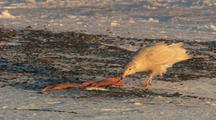 Gull Seagull Eating Whale Meat On Gravel And Snow Covered Ground