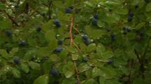 Blueberries Blueberry On Plant With Raindrops And Dew Green Nature Alaska