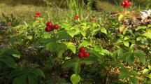 Prince William Sound Forest Bog Tilt From Forest To Poisonous Red Baneberry