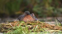 Red Necked Grebe Adult Nesting Sitting On Nest With Cute Fuzzy Chick Popping Out Alaska Wetlands Scenic Alaska