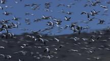 Great Flock Of Snow Geese Flying Migration Migrating Alaska Wildlife Anser Caerulescens