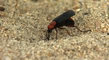 Desert Blister Beetle Walking On Desert Floor Sand Lytta Magister Desert Creatures