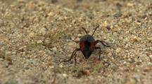 Desert Blister Beetle Black And Orange Beetle Walking On Desert Floor Sand Lytta Magister Desert Creatures