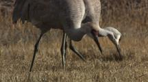 Group Of Sandhill Cranes Feeding In Wetlands Migration
