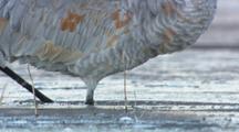 Tilt Up From Feet To Reveal Sandhill Crane Face.  Standing In Frozen Water.  Wintering Grounds, Wetlands, Southwest Us Bird Life