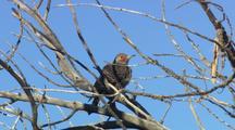 Gilded Flicker Grooming In Tree