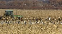 Green Tractor Harvesting Cornfield With Snow Geese In Foreground