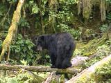 Black Bears In Southeast Alaska Tongass
