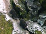 Black Bear Cubs In Southeast Alaska Tongass