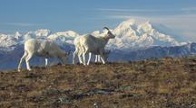Dall Sheep Wildlife Mammals Feeding Denali Alaska Magestic Scenery Mount Mckinley