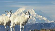 Pull From Mt. Denali To Dall Sheep On Tundra Wildlife Mammals Feeding Denali Alaska