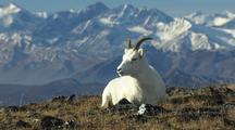 Dall Sheep wildlife mammals feeding Denali Alaska