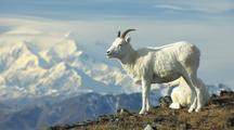 Dall Sheep wildlife mammals feeding Denali Alaska