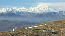 Dall Sheep Walking Over Tundra Towards Mt. Denali Alaska Wildlands National Park Wildlife Mammals Feeding Denali Alaska