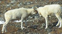 Dall Sheep Locking Horns Wildlife Mammals Feeding Denali Alaska
