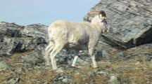 Dall Sheep Enters Frame And Walks Across Tundra Wildlife Mammals Feeding Denali Alaska