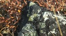 Lichen On Rock Dall Sheep Food Tundra Alaska