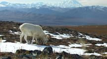 Dall Sheep Feeding Slow Zoom In With Mountains And Valley In Background Stunning Scenery Alaska Wildlife