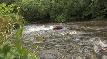 Sockeye salmon swimming up stream through Alaska rainforest