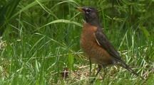 Robin In Meadow