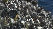 Colony Of Murres Nest On Rocky Cliff