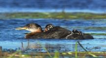Red necked grebes with chicks Alaska baby birds cute fuzzy