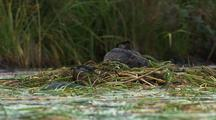 Red Necked Grebe Rests On Nest While Mate Collects Grass