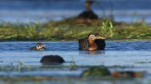 Red Necked Grebes And Striped Fuzzy Chicks On Alaska Lake