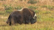 Musk Ox Muskox Arctic Alaska National Park Prehistoric Arctic Animal Keeping Warm Overheat Stay Warm Hd