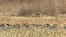 Coyote Browses Nearby Wetlands And Waterfowl