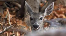 Close Up Deer In Forest Looking At Camera Ears Listening Startled Alert