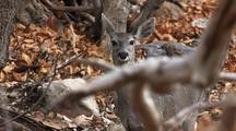 Deer In Forest Looking At Camera Ears Listening Startled Alert Something New